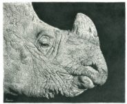 RhinoPencilDrawing